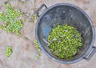 Raccolta olive corso Agrario